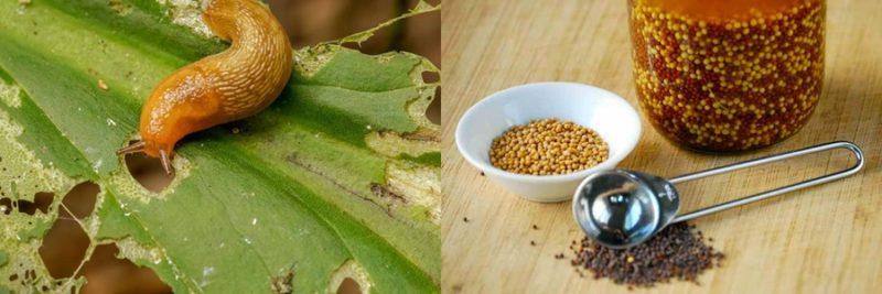 Горчичный порошок в огороде - применение от вредителей и болезней