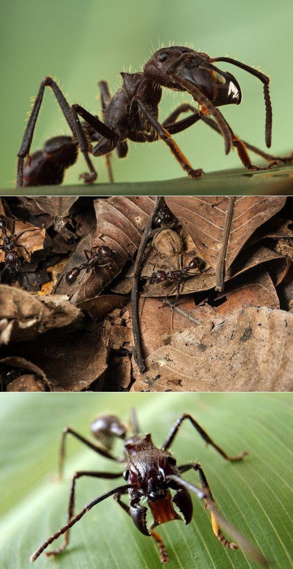 Краткое описание основных характеристик и индивидуальных особенностей тропических муравьев амазонии