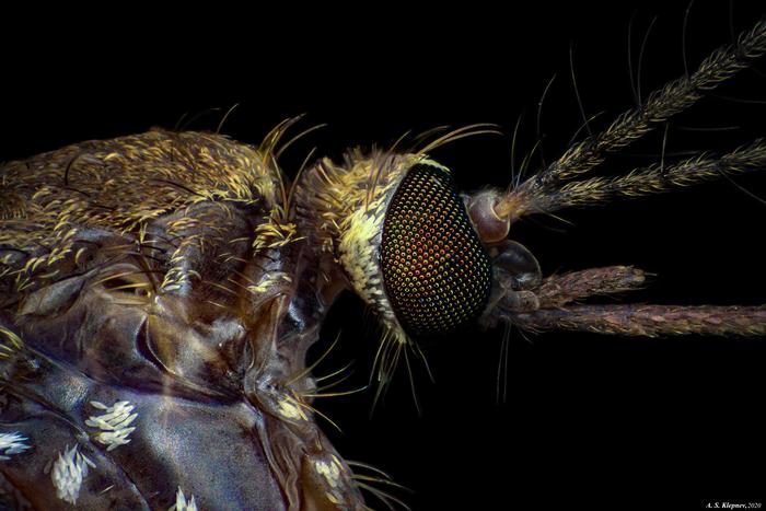Комар как биологический вид