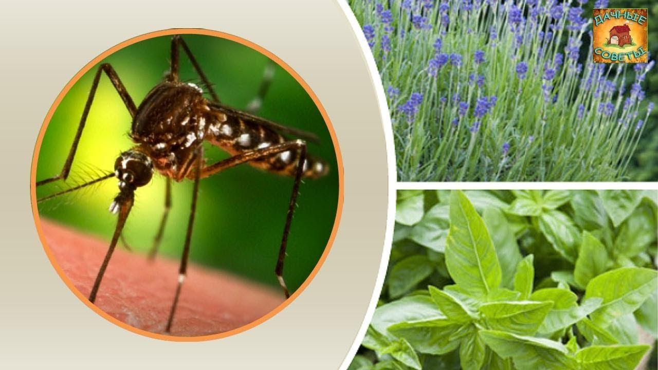 .растения, отпугивающие комаров и мошек на даче: мелисса, мята, бузина