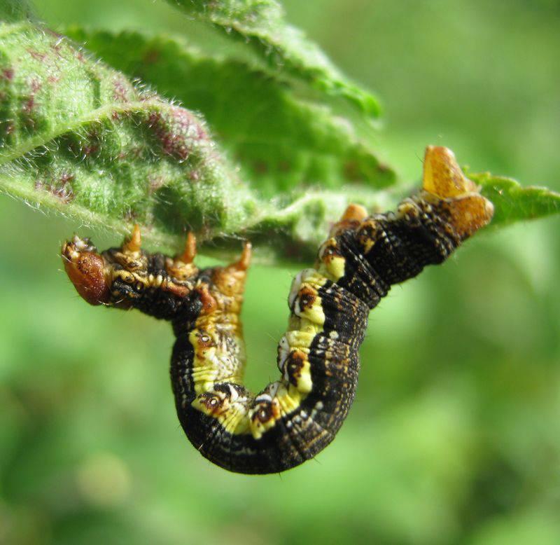 Бабочка пяденица: крыжовниковая, зимняя, обдирало, описание внешнего вида с фото русский фермер