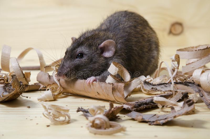 Сонник крыса съела мышь. к чему снится крыса съела мышь видеть во сне - сонник дома солнца