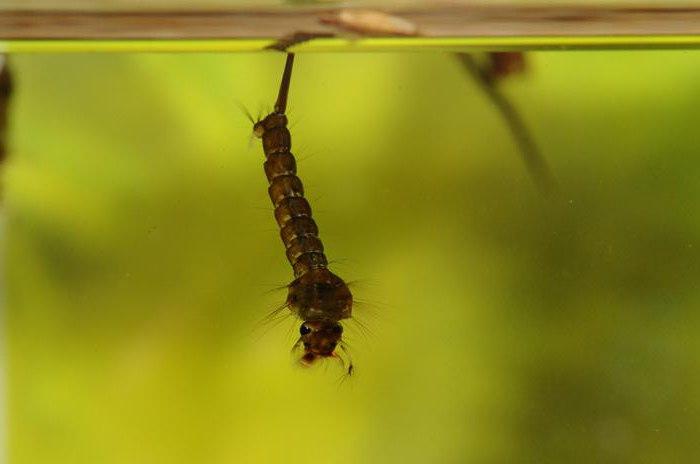 Как выглядят личинки комара в воде: строение и стадии развития