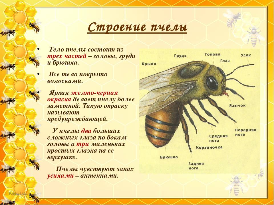 Шершень и оса - типичные враги медоносных пчёл