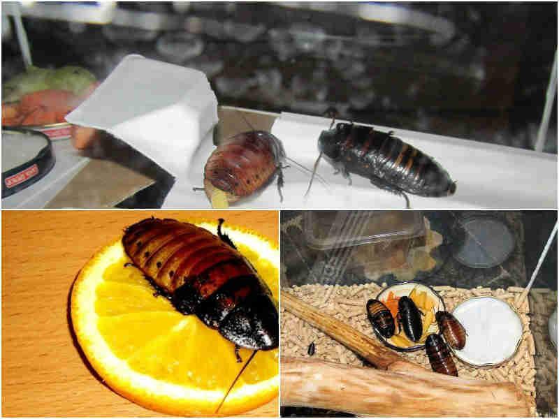 Как питаются и размножаются мадагаскарские шипящие тараканы