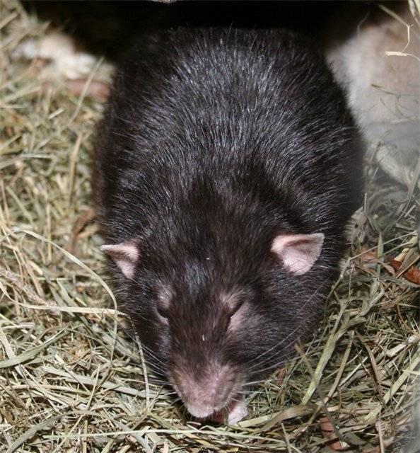 Крыса (64 фото): как выглядят породы домашних декоративных крыс? повадки ручной сатиновой крысы и других видов. интересные факты о крысках. как они видят?