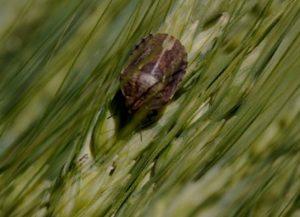 Клоп вредная черепашка на пшенице, меры борьбы с клопом вредной черепашкой