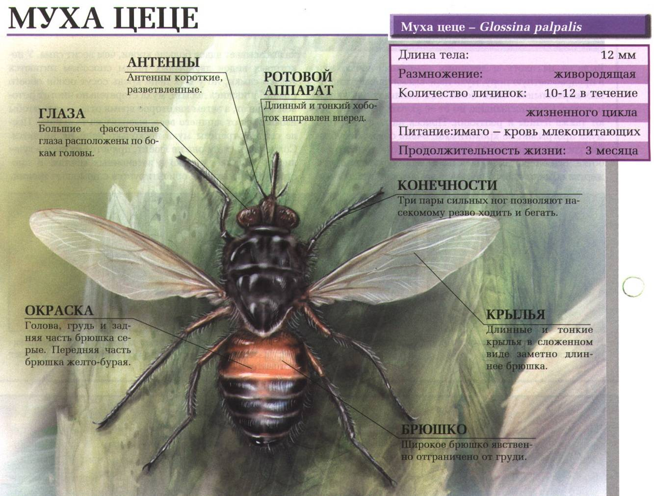 Муха цеце почему так называется. как выглядит муха цц. борьба с опасностью