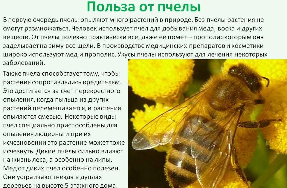 Шершень: польза и вред самой большой осы в мире