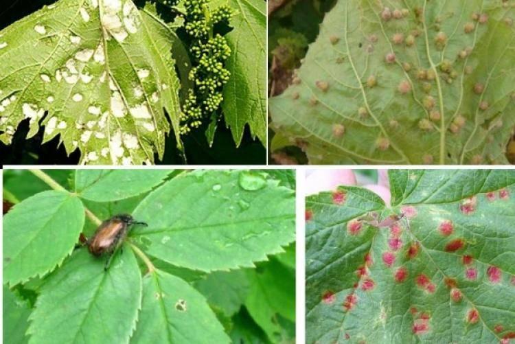 Тля на винограде как бороться? тля на винограде чем обработать? как избавиться от тли на... - животные и растения - вопросы и ответы