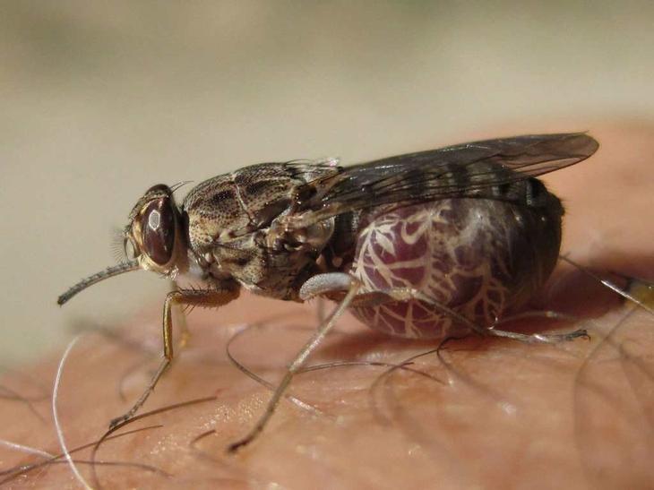 Кровососущие насекомые – фото и описание