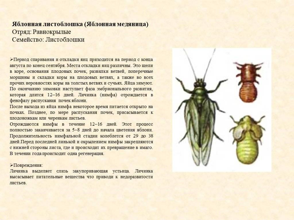 Грушевая медяница: описание и фото, меры борьбы, как и чем обработать