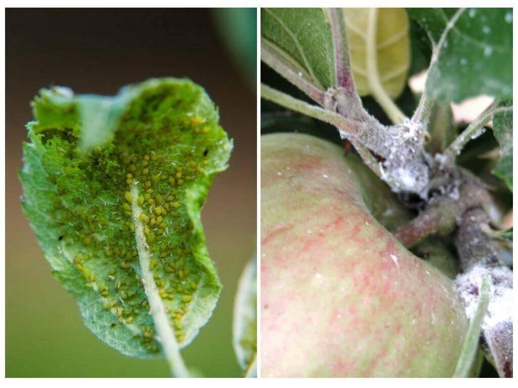 Методы борьбы со щитовкой на деревьях в саду: сливе, вишне, яблоне и прочих