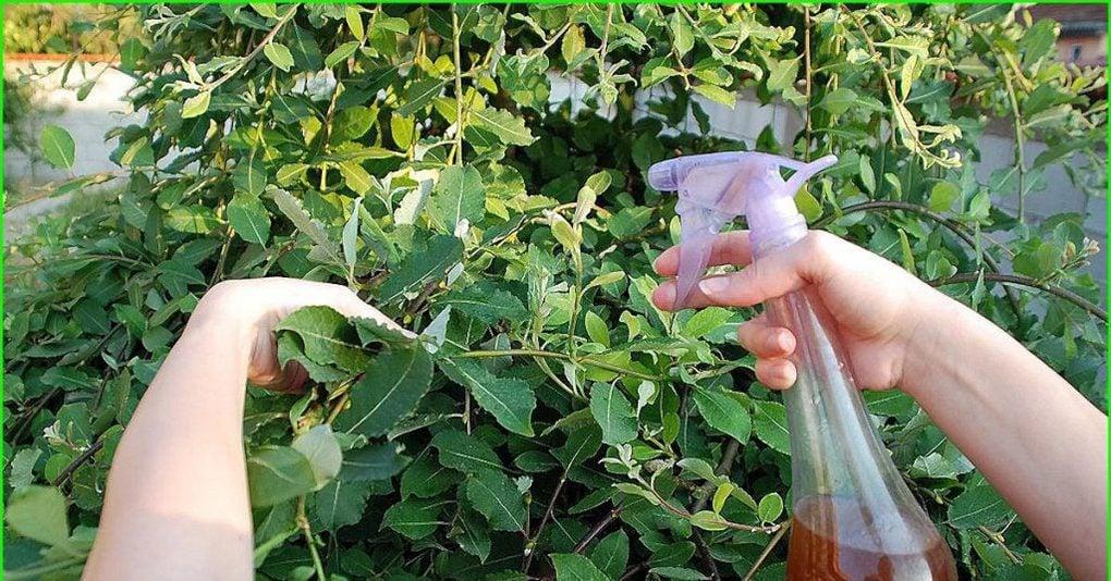 Тля на вишне – как избавиться народными и химическими средствами, почему появляется, признаки поражения