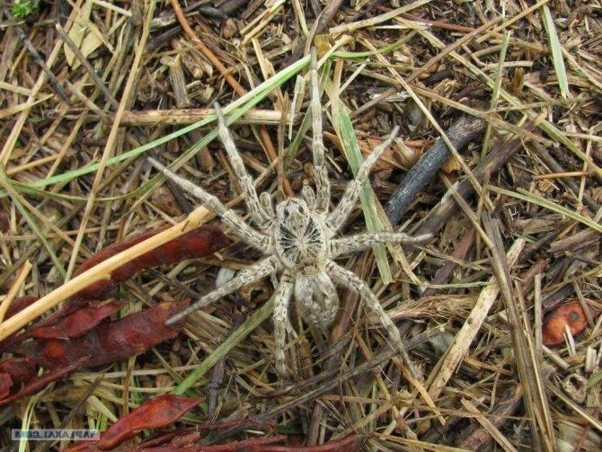 Топ-10 самых опасных ядовитых пауков в мире