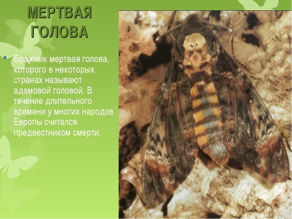 Бражник подмаренниковый: особенности вида, занесенного в красную книгу