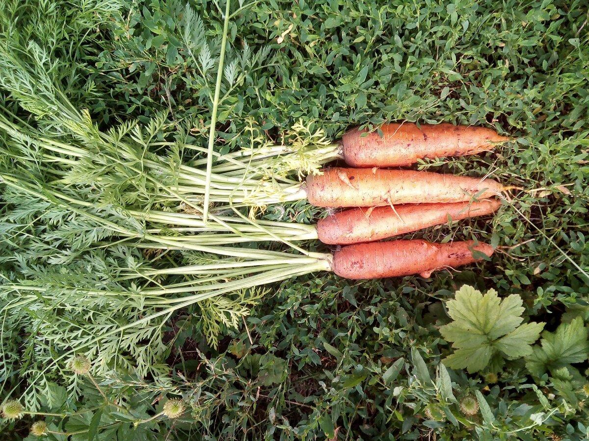 Вредители моркови как с ними бороться | огородники