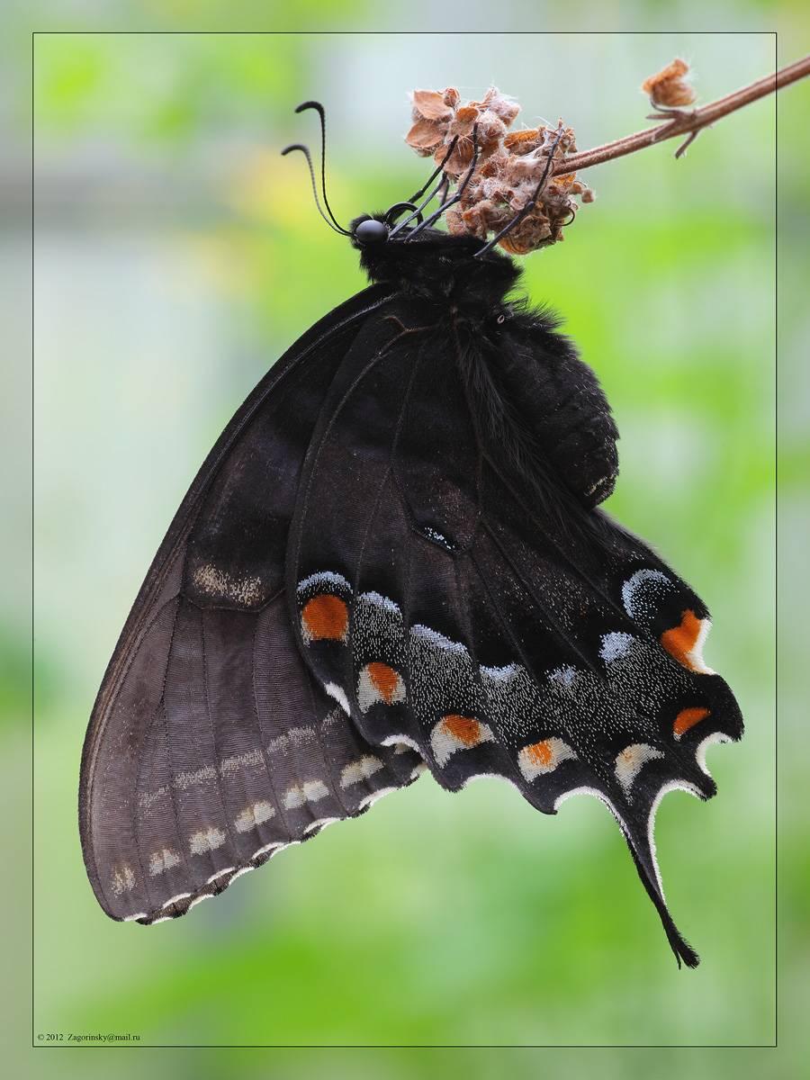 Бабочка павлиний глаз: фото и образ жизни