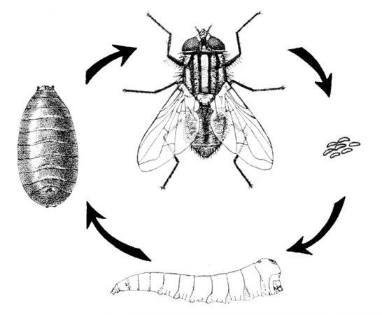 Лучшие средства для уничтожения канализационных мух
