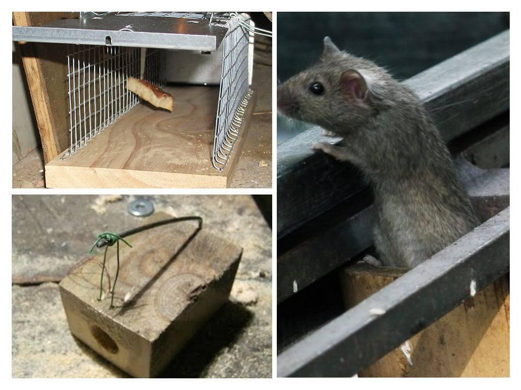 Что положить в мышеловку, чтобы приманить мышь