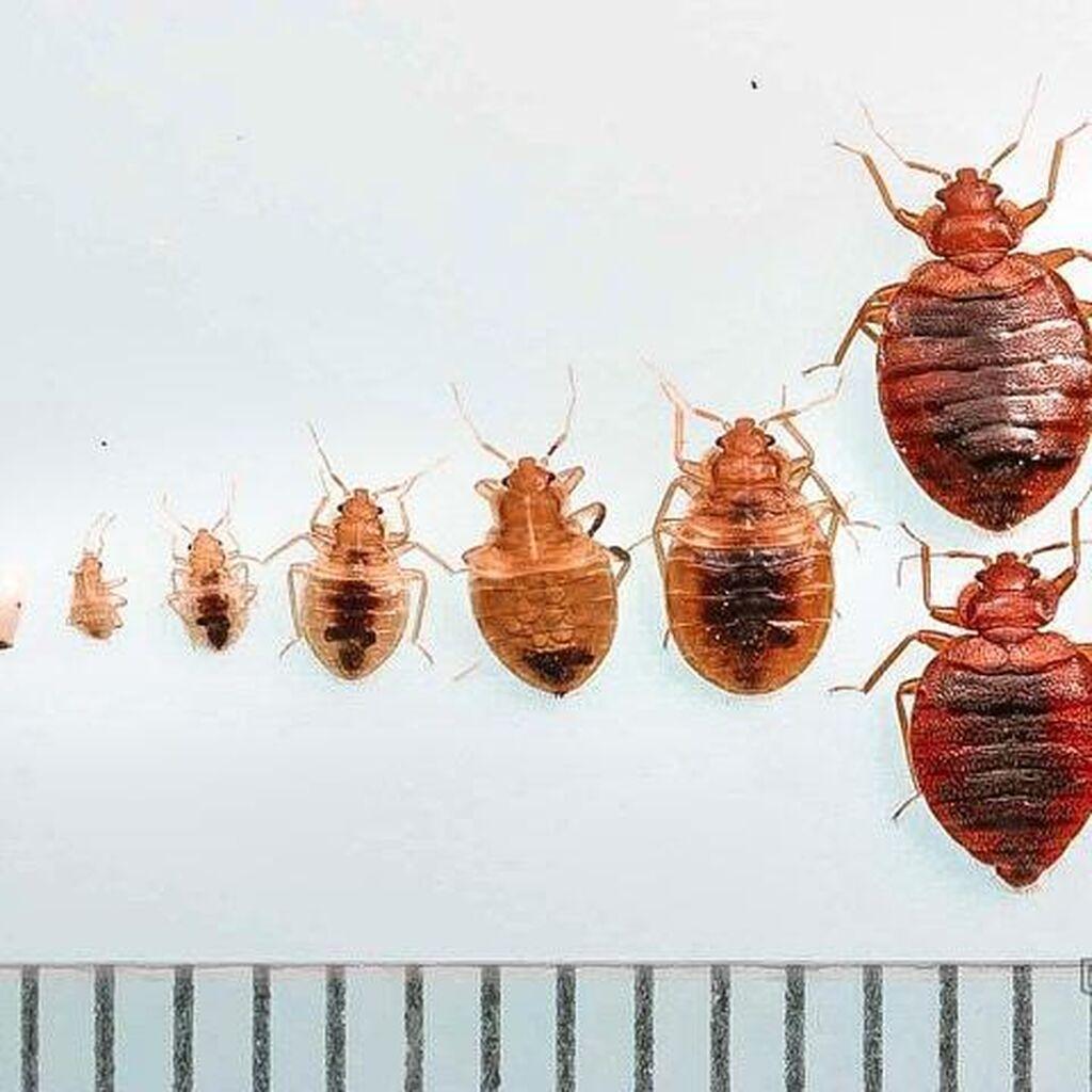 Едят ли тараканы клопов?