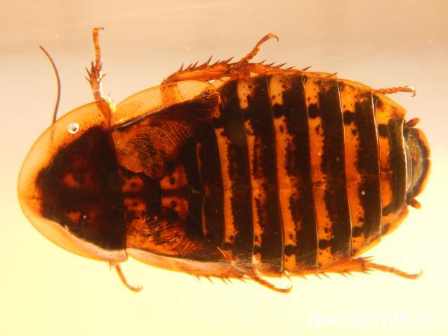 Египетский таракан-черепашка: размеры, рацион и правила ухода за насекомыми в террариуме