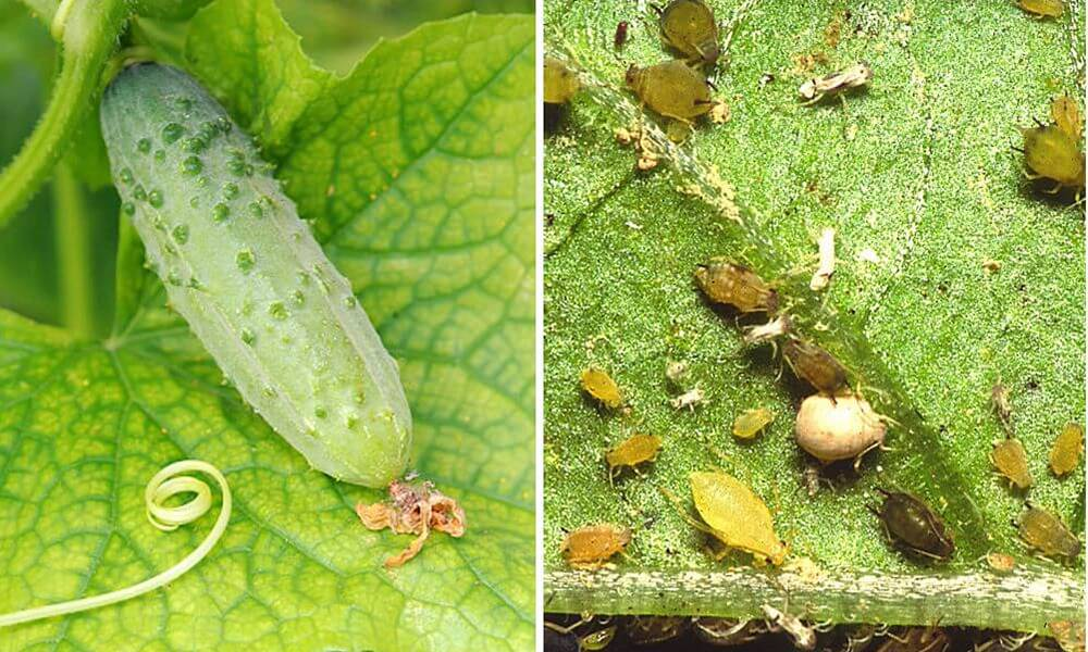 Как избавиться от тли на огурцах: народные, биологические и химические средства борьбы