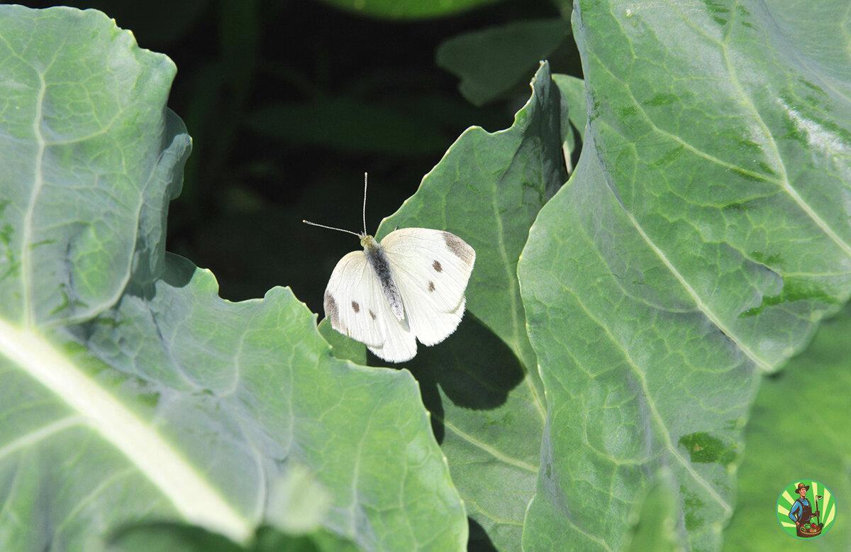 Как бороться с бабочкой капустницей