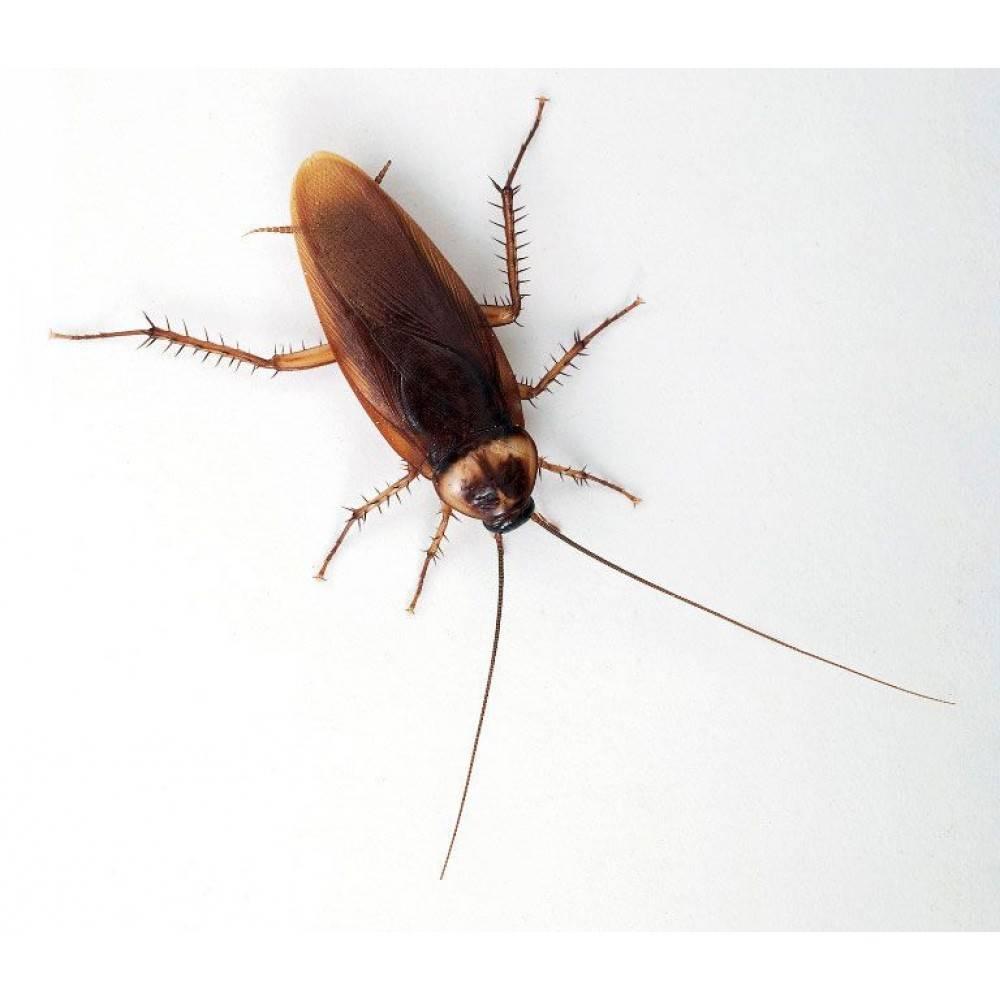 Periplaneta americana, цикады и прочие орлы американского юга