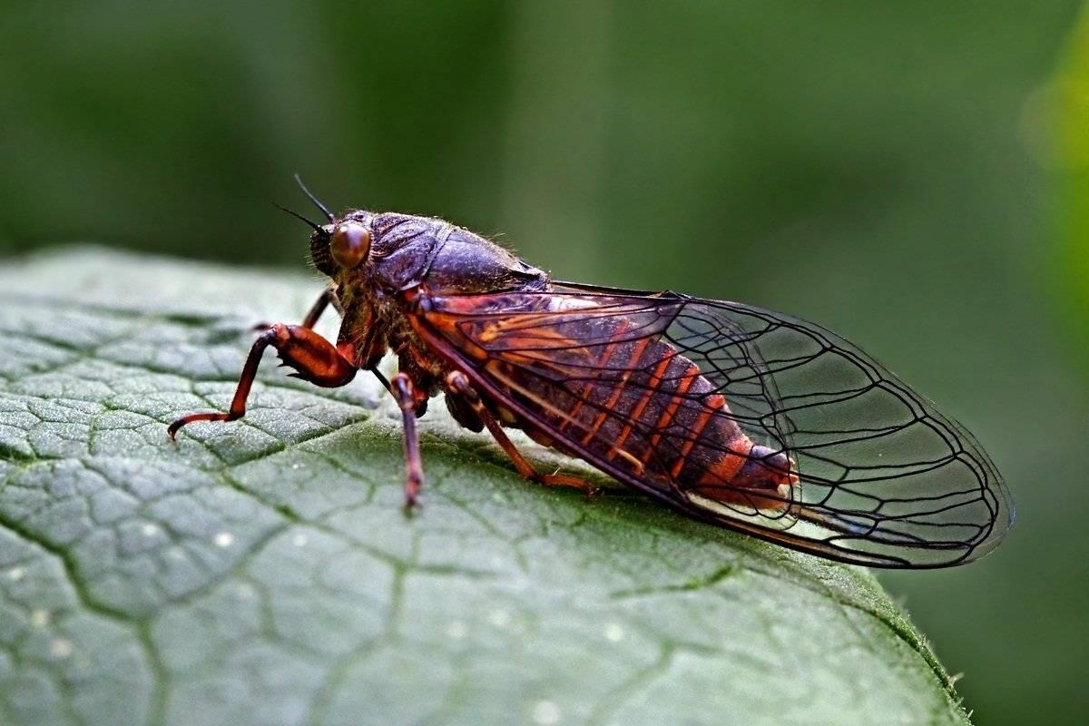 Виды цикад: певчая цикада, цикадка белая и японская - фото и описание русский фермер