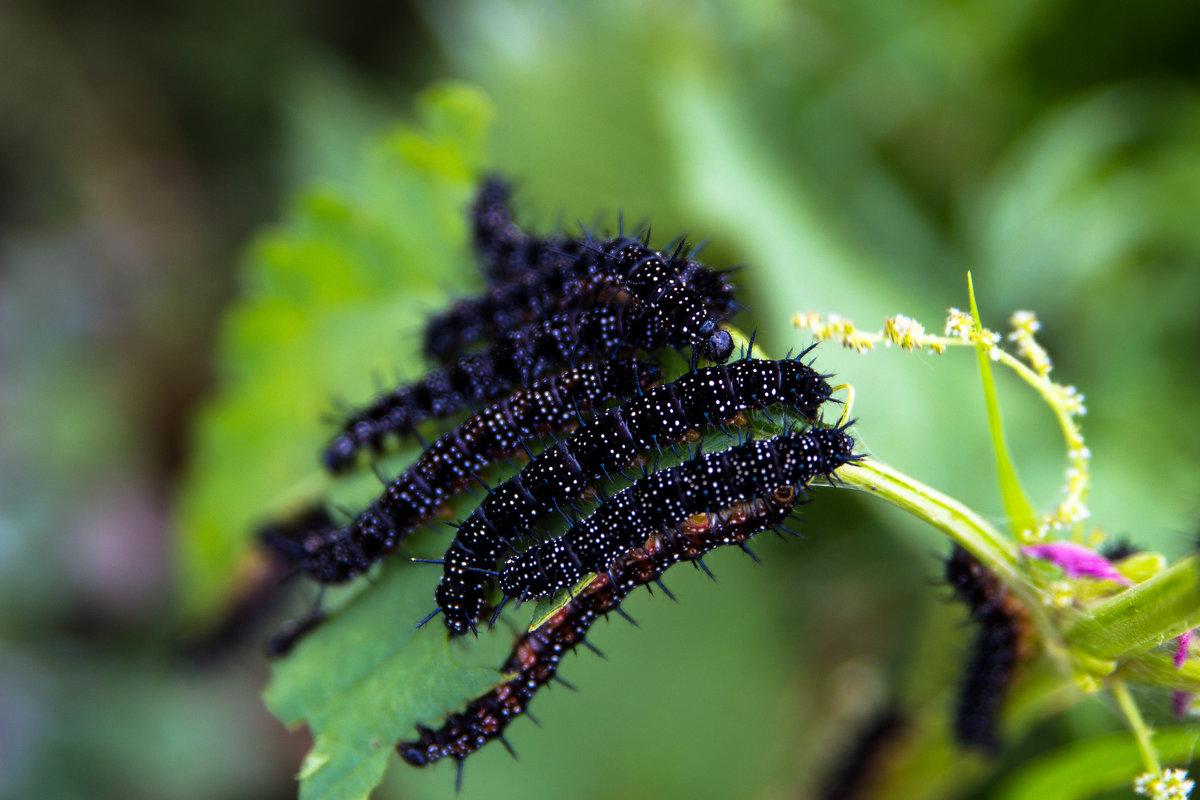 Бабочка крапивница обыкновенная: описание и жизненный цикл