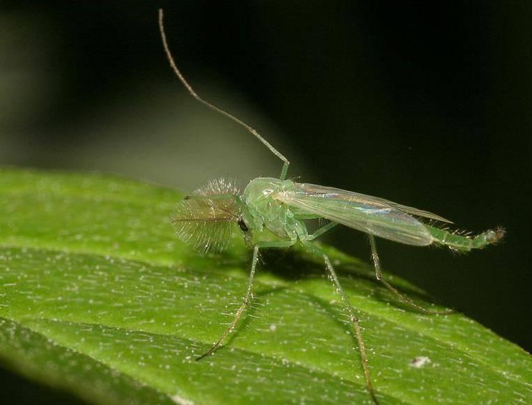 Магия биологии: невероятно, но факт: комары-звонцы