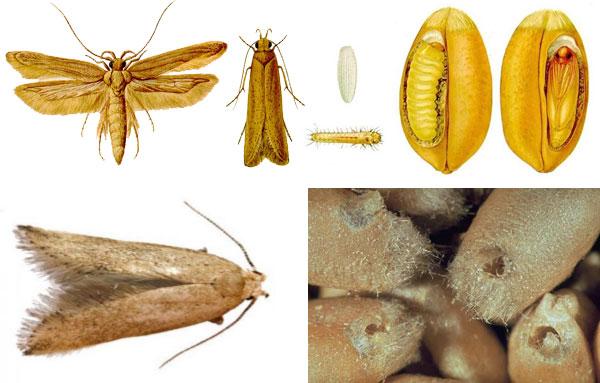 Пищевая моль: какая бывает, как отличить ее от платяной моли, способы борьбы с паразитом