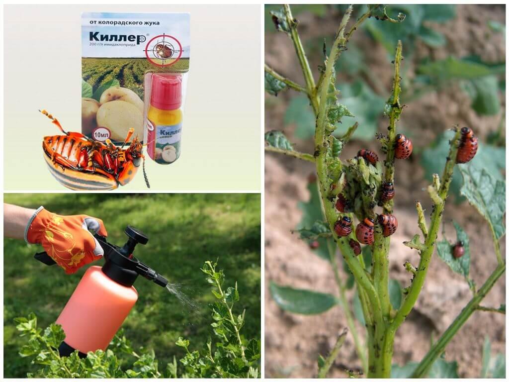 Самые эффективные отравы от колорадского жука: лучшие химические средства и рейтинг других препаратов