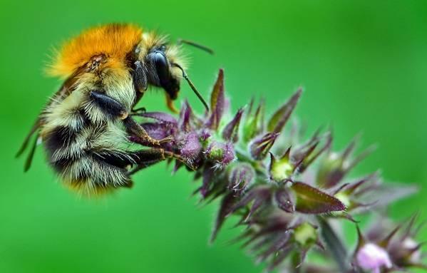 Усач мускусный – жук с изменчивой окраской и специфическим запахом