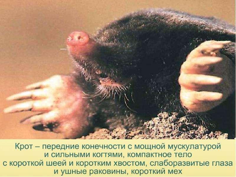 Кроты — виды, фото, образ жизни, польза и вред
