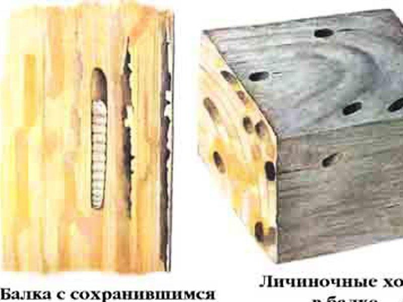 Жук усач: как избавиться от древоточца в деревянном доме