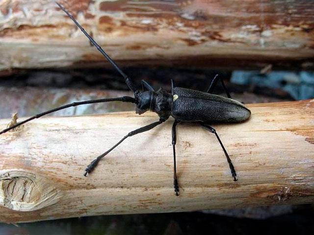 Уничтожение домового жука усача в москве и области. гарантия выгоды!
