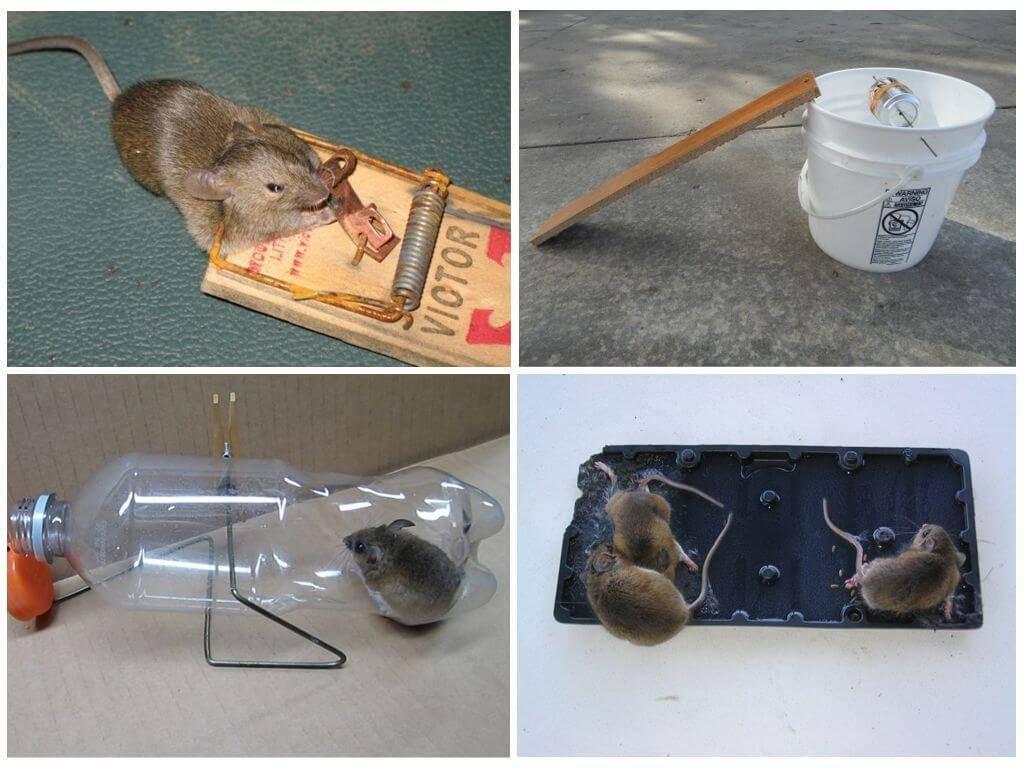 Как поймать мышь: без мышеловки, в доме, квартире, руками, с помощью бутылки (видео)