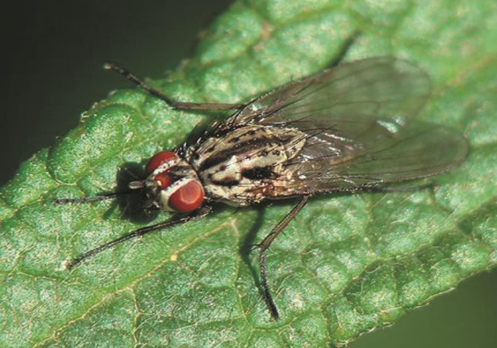 Ростковая муха на огурцах: меры борьбы