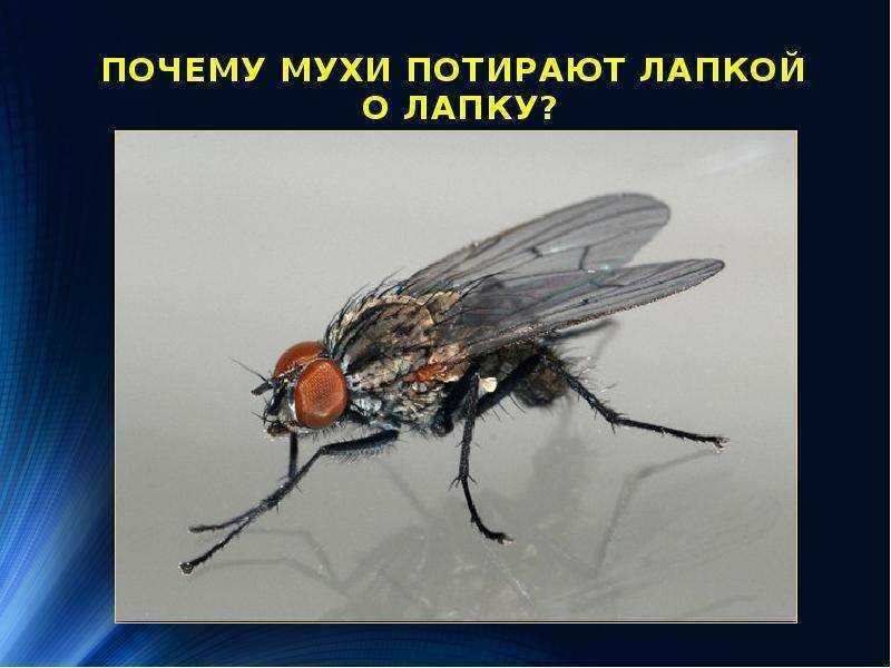 Как держится муха на потолке, почему не падает. секрет цепких лапок