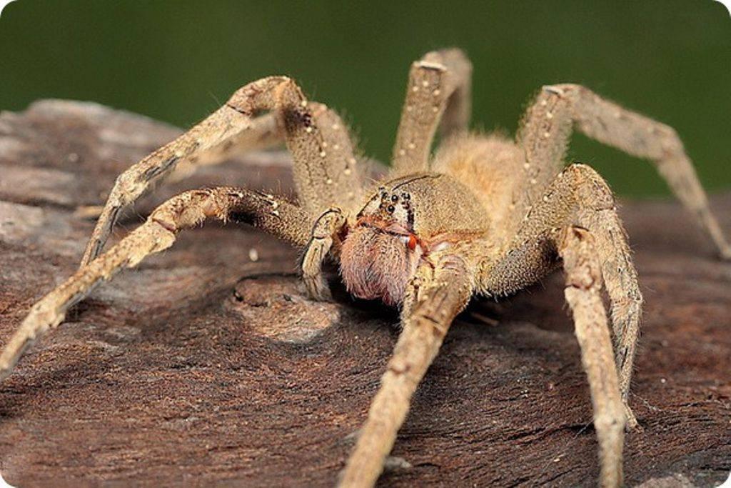 Самый страшный паук в мире - фото и описание