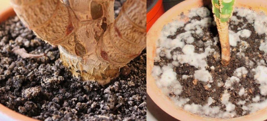 Плесень в цветочном горшке: как избавиться? заражение субстрата или почвы