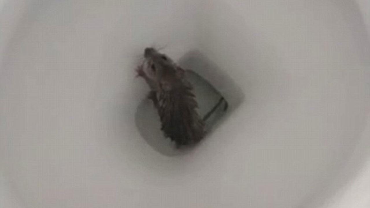 Может ли вылезти крыса из унитаза - что делать
