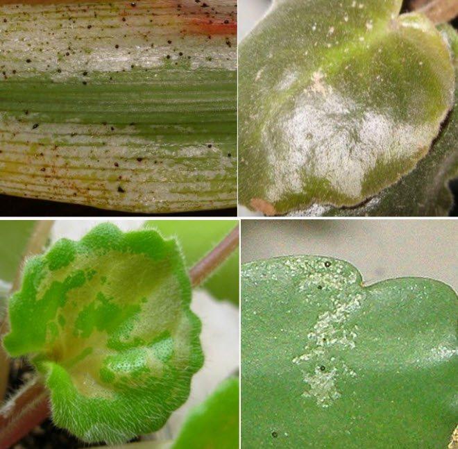 Тля на комнатных цветках: как избавить от нее растение в домашних условиях, можно ли с ней бороться, фото