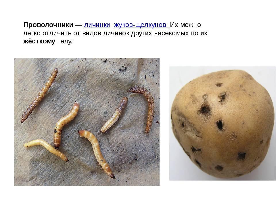 Вредители и болезни картофеля: фото, описание