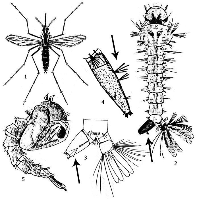 Майский жук - стадии развития, чем питается и как избавиться от личинок
