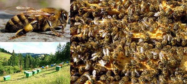 Основные преимущества и недостатки карпатской породы пчёл (карпатки):общая характеристика и особенности ухода.