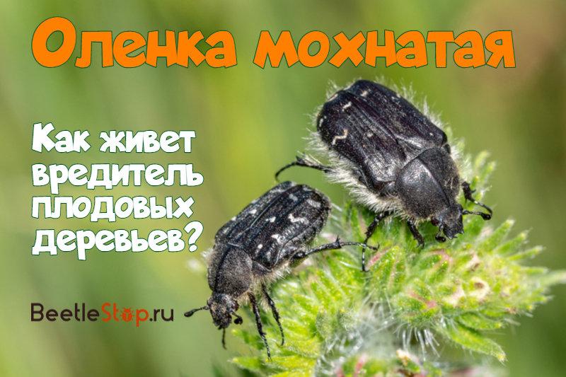 Олёнка мохнатая, чем опасна, методы борьбы