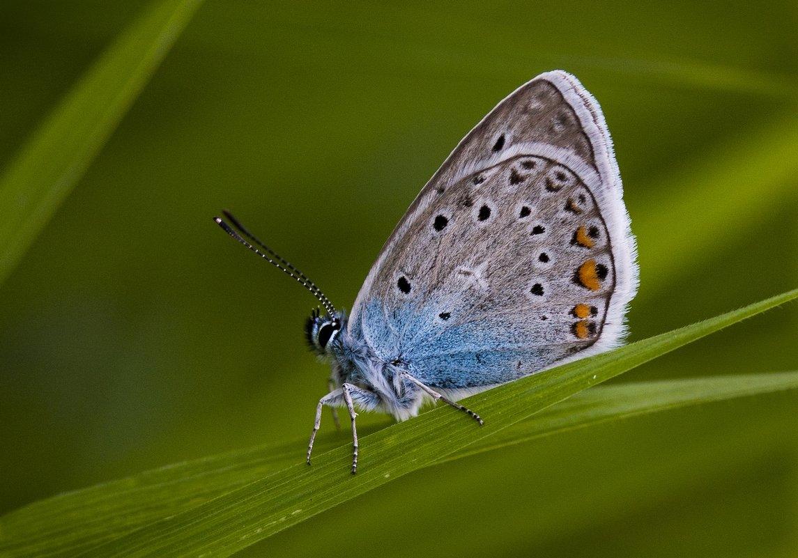 Крепкая дружба с муравьями: факты о бабочке голубянка аргус